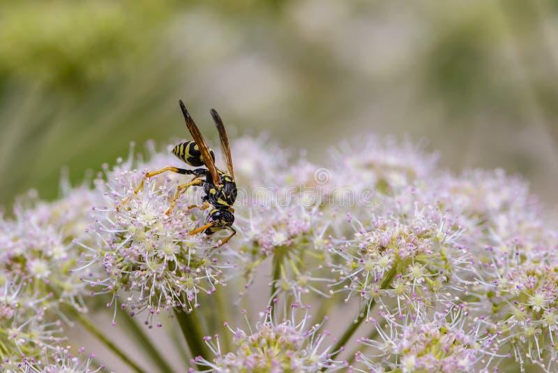 Osa zbiera nektar na pączku kwitnienie hogweed zdjęcia stock