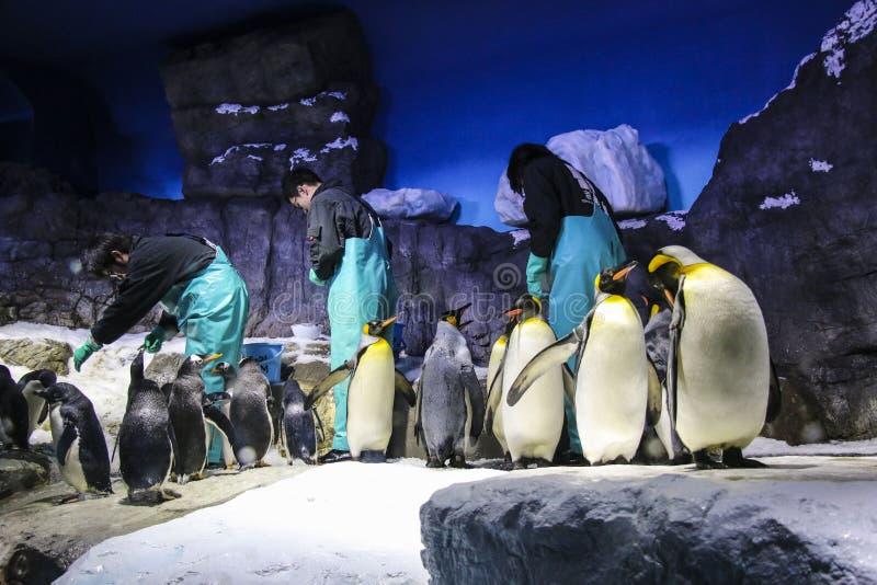 OSAKA, GIAPPONE - 29 MARZO 2019: Alimentazione del personale dell'acquario i pinguini in Osaka Kaiyukan Aquarium fotografie stock