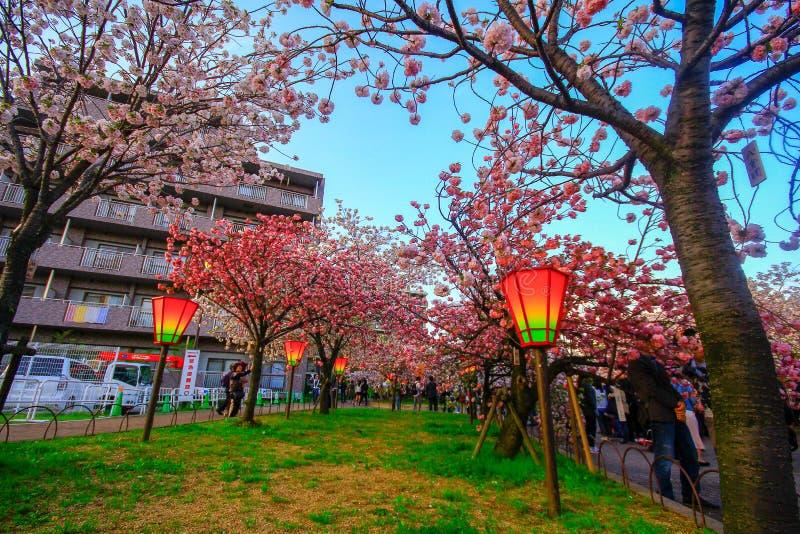 Osaka, Japão Luz e cores bonitas de lanternas japonesas e de flores de cerejeira imagens de stock