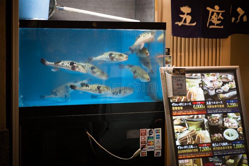 Osaka, Japon - 2 novembre 2018 : Poissons de Live Fugu dans un aquarium de restauraunt à Osaka, Japon Fugu peut être mortellement images libres de droits