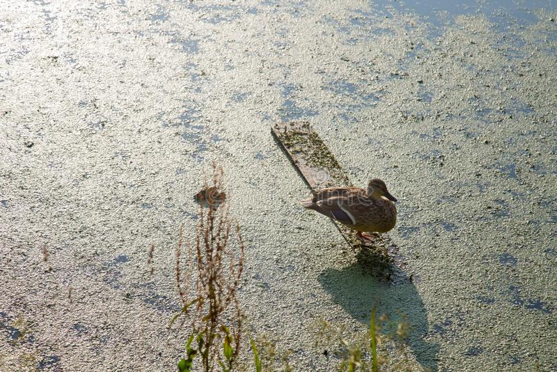 Osamotneni kaczka stojaki na desce, wygrzewa się w słońcu, przeciw zielonemu stawowi fotografia royalty free