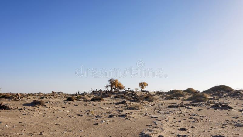 Osamotneni złoci populus euphratica drzewa w nieżywym drzewnym lesie dezerterują na niebieskiego nieba tle, Ejina w jesieni zdjęcia stock