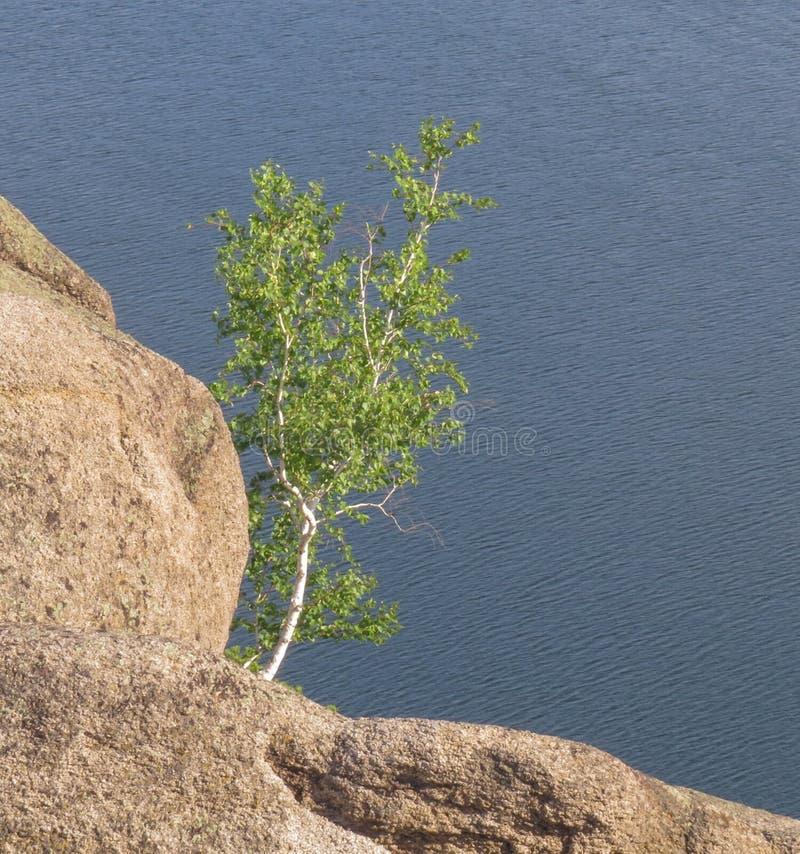 Osamotniona brzoza na wzgórzu wśród kamieni na błękitnym tle jezioro zdjęcie stock