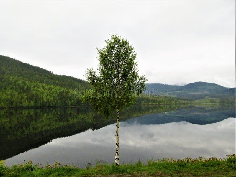 Osamotniona brzoza, podczas gdy las odbija w fjord obraz stock