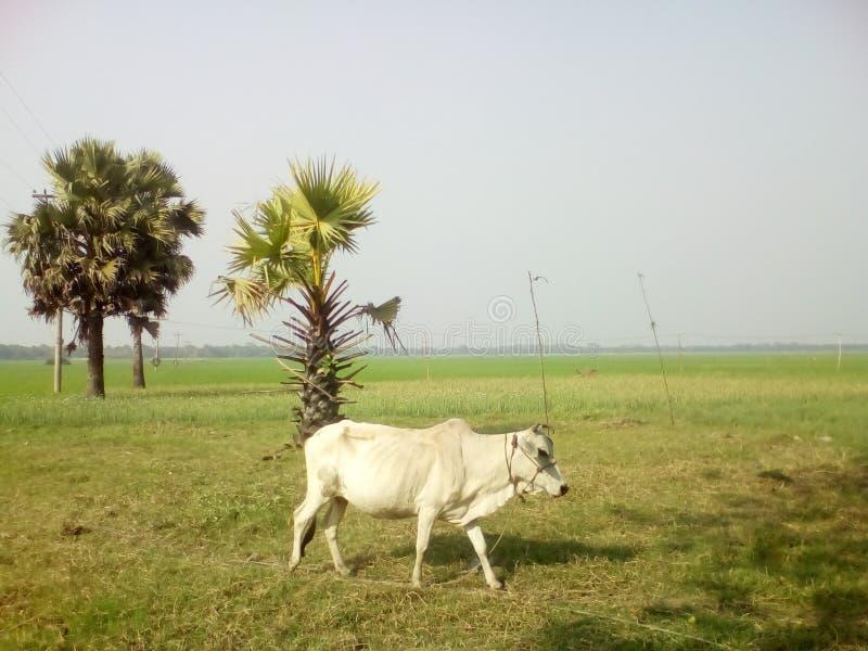 osamotniona krowa w polu zdjęcie stock