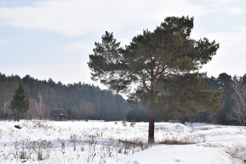 Osamotniona sosna w tle las zdjęcie stock