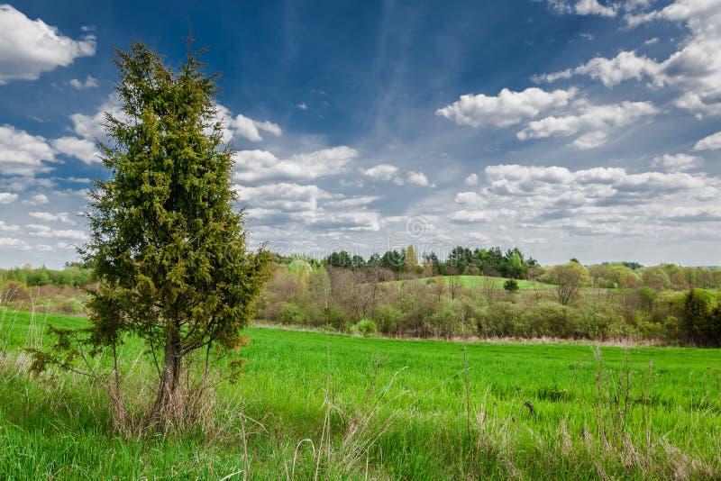 osamotniona tuja, jałowiec, cyprys w zielonym trawiastym polu przeciw pięknemu błękitnemu chmurnemu niebu obraz royalty free
