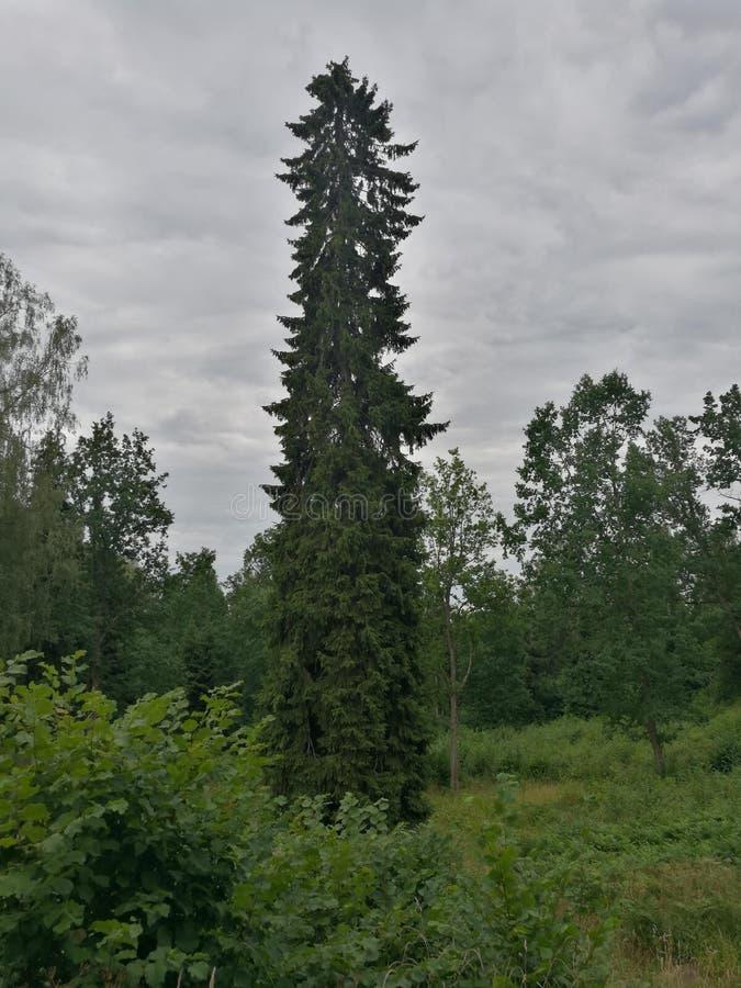 osamotniona zielona świerczyna zdjęcie stock