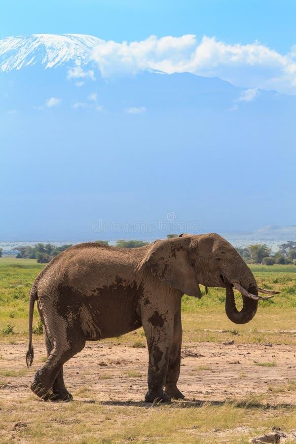 Osamotnionego słonia pobliska góra Kilimanjaro Kenja, Afryka fotografia royalty free