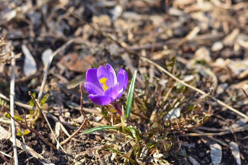 Osamotnionej wiosny krokusa purpurowy zbliżenie zdjęcie stock