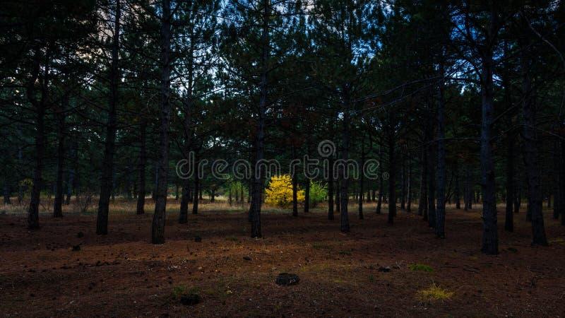Osamotniony żółty Dębowy drzewo w sosnowym jesień lesie obraz stock