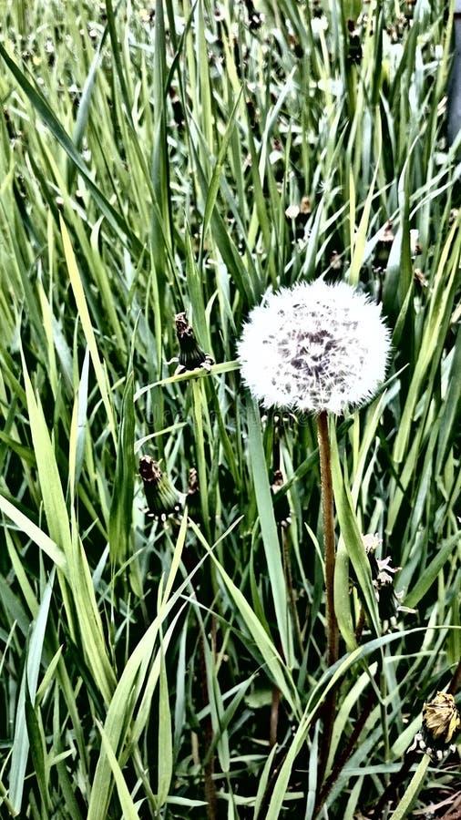 Osamotniony biały dandelion z skutkiem na nim zdjęcia royalty free