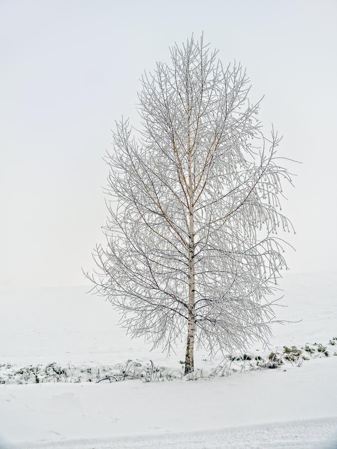 Osamotniony brzozy drzewo w zimie obrazy stock