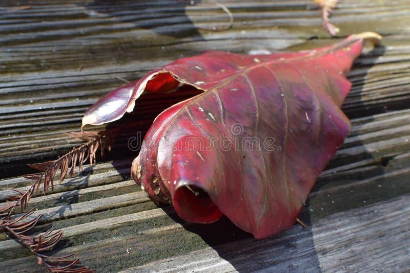 Osamotniony czerwony liść na drewnie obrazy royalty free