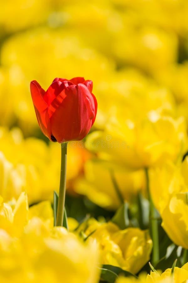 osamotniony czerwony tulipan fotografia stock