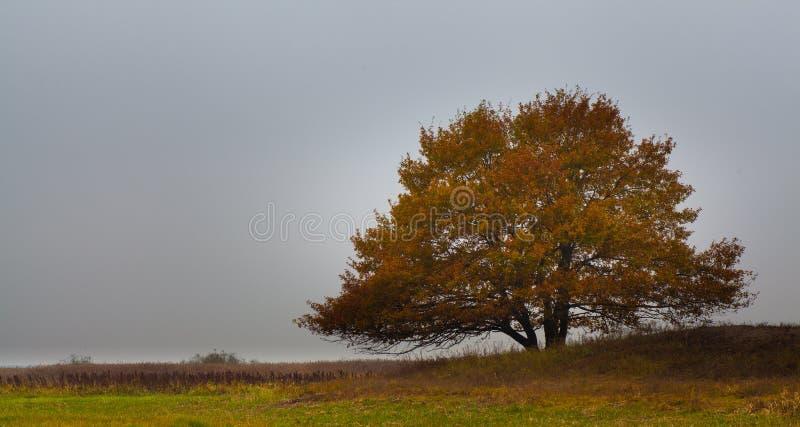 Osamotniony Dębowy drzewo w wieczór jesieni barwi Polska fotografia royalty free