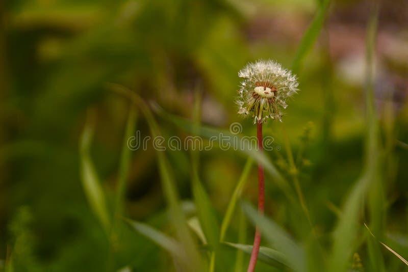 Osamotniony dandelion w trawie fotografia stock