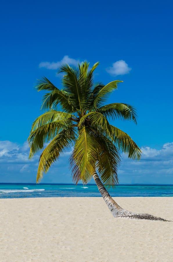 Osamotniony drzewko palmowe na piaskowatej plaży fotografia stock