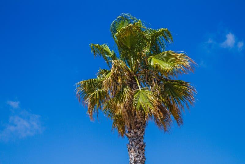 Osamotniony drzewko palmowe w niebie fotografia stock