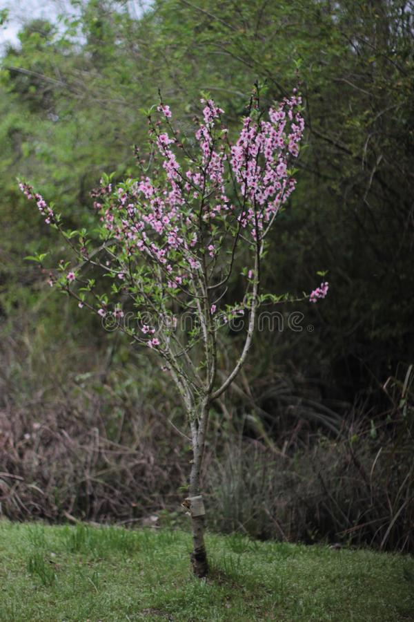 Osamotniony drzewo, Ładny kolor obraz stock