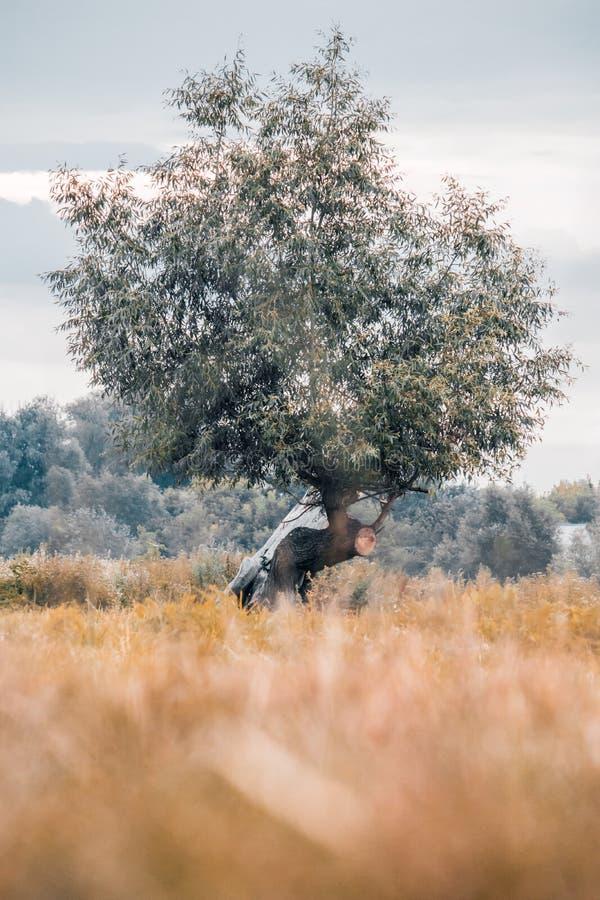 Osamotniony drzewo w łąkowych stojakach obraz stock