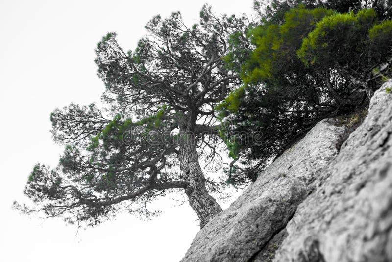 Osamotniony drzewo w skalistych górach jako symbol wytrzymałość i żywotność w trudnych warunek życiowy, Drzewo lubi zdjęcie royalty free