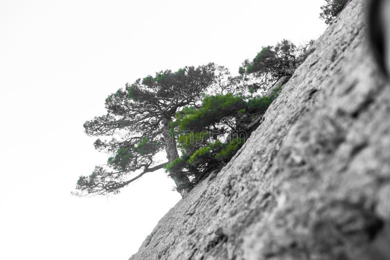 Osamotniony drzewo w skalistych górach jako symbol wytrzymałość i żywotność w trudnych warunek życiowy, Drzewo lubi obraz royalty free