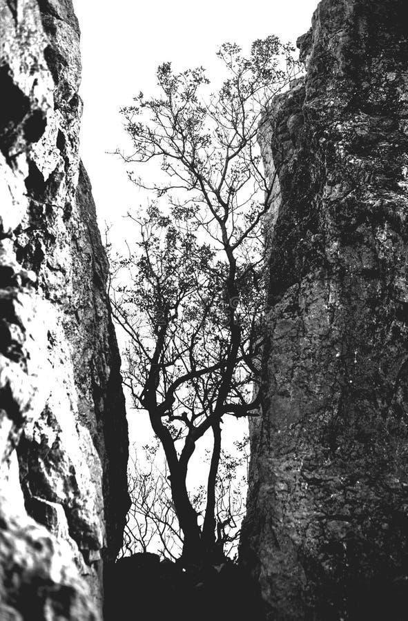 Osamotniony drzewo w skalistych górach jako symbol wytrzymałość i żywotność w trudnych warunek życiowy, Drzewo lubi zdjęcia royalty free