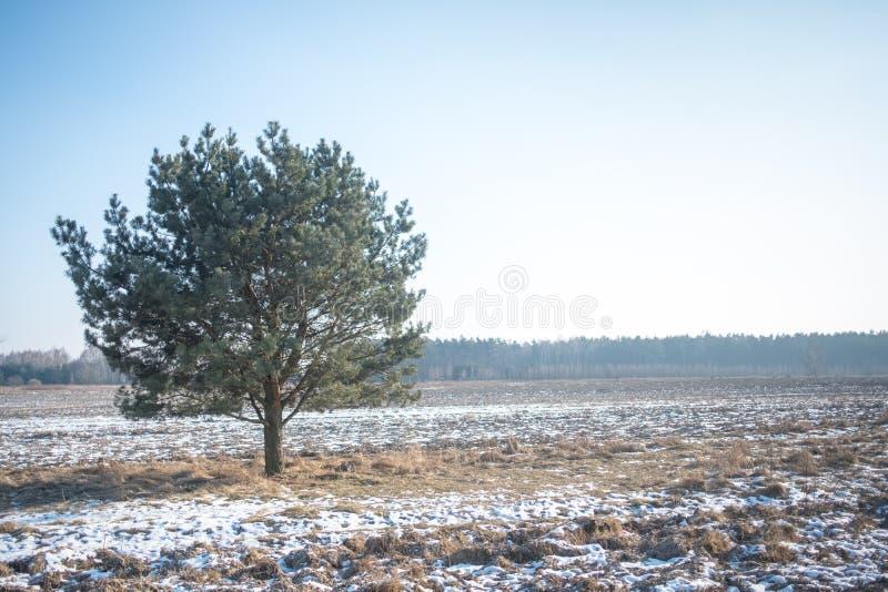 Osamotniony drzewo w zimy ladscape zdjęcie royalty free