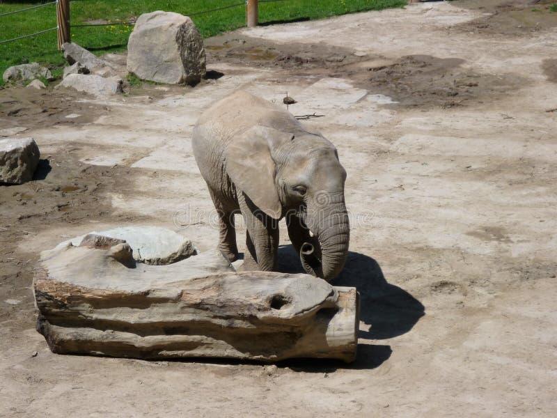 Osamotniony dziecko słoń w zoo fotografia royalty free