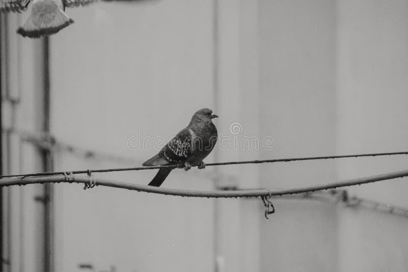 Osamotniony gołębi czekanie dla śniadania zdjęcia stock
