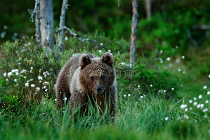 Osamotniony młody lisiątko niedźwiedź w sosnowej lasu niedźwiedzia ciuci bez matki Lekki zwierzę w natura lesie i łąki siedlisku  fotografia stock