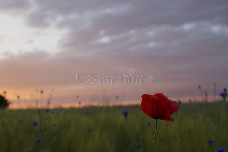 Osamotniony maczek na dzikiej chabrowej łące przed zmierzchem zdjęcie royalty free