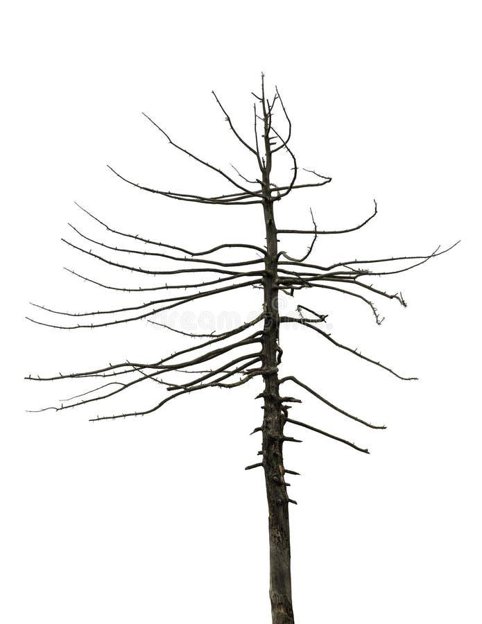 Osamotniony nieżywy drzewo na odosobnionym białym tle Nagi suchy drzewo bez liści zdjęcia stock