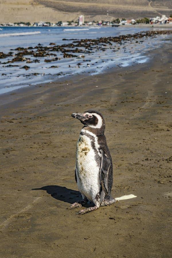 Osamotniony pingwin przy brzeg Chubut Argentyna obrazy royalty free