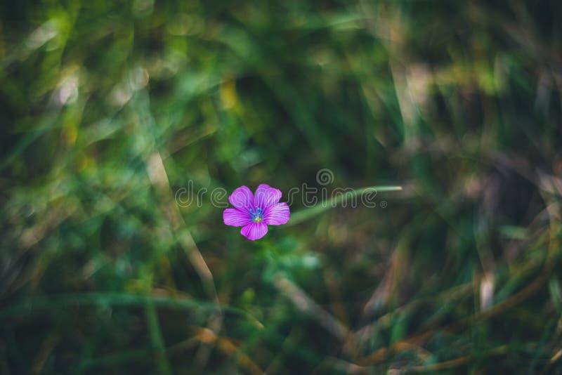 Osamotniony purpura kwiat na łąkowej trawie zdjęcia stock