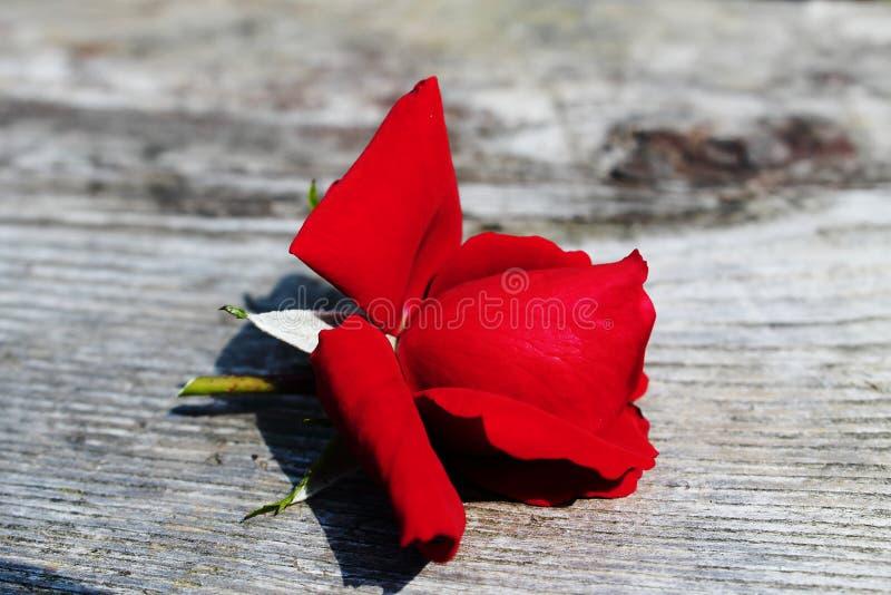 Osamotniony rosebud obrazy royalty free