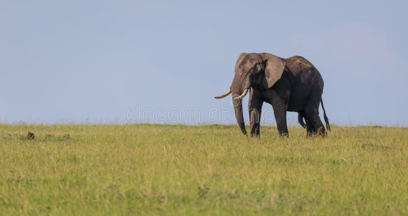 Osamotniony słoń chodzi przez sawanny fotografia royalty free