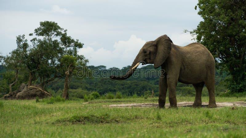 Osamotniony słoń w Uganda obraz royalty free