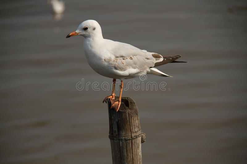 Osamotniony seagull obrazy stock