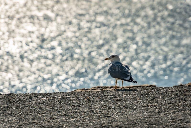 Osamotniony seagull Larus Marinus na szarej otoczak plaży na zamazanym tle srebne fale morze zdjęcie stock