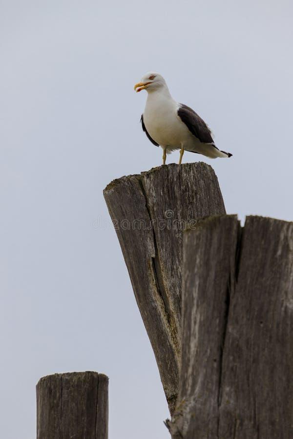 Osamotniony seagull na górze stockade zdjęcia stock