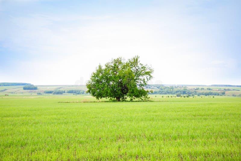 Osamotniony stary dębowy drzewo w polu Drzewo mądrość zdjęcia stock