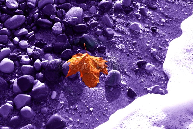 Osamotniony złocisty liść klon na fiołkowym tle wilgotny kamień obrazy royalty free