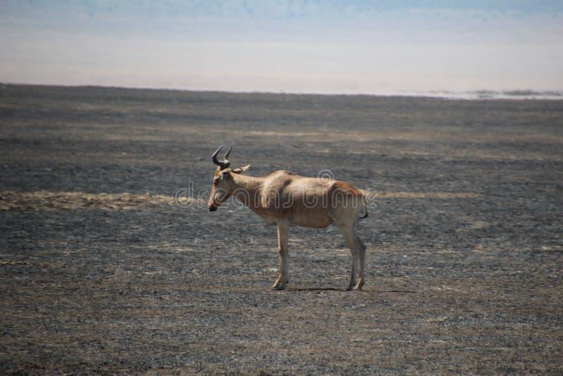 Osamotniony zwierzę na Burnd savana zdjęcia royalty free