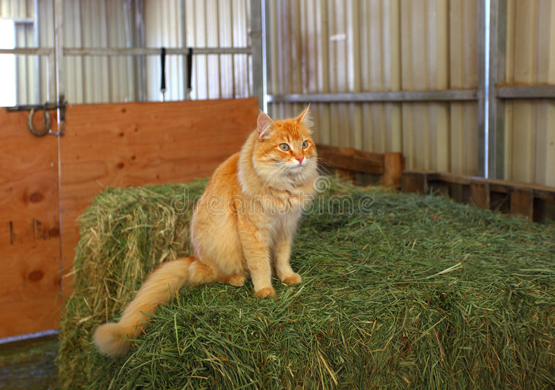 Oscar the barn cat. A beautiful orange barn cat sitting on some haybales. Shallow dof with focus on the cat's face stock photography