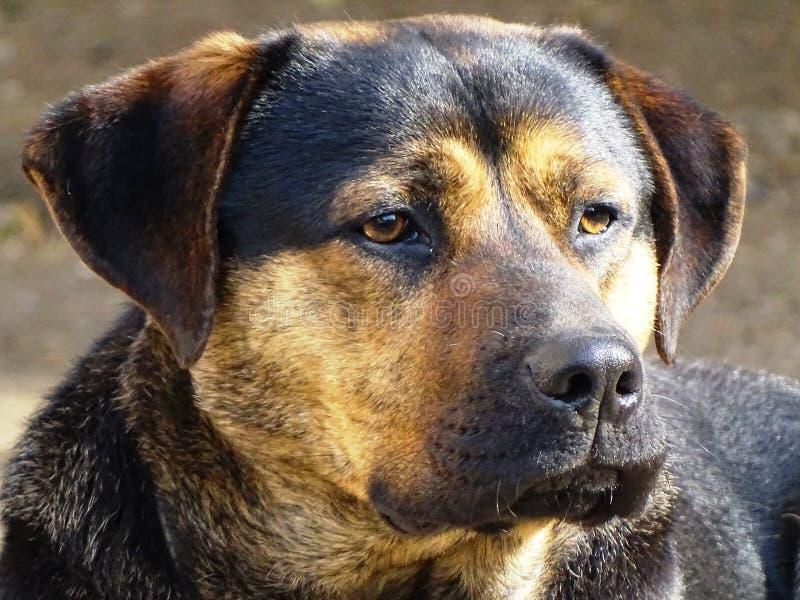 Oscar de hond stock afbeelding