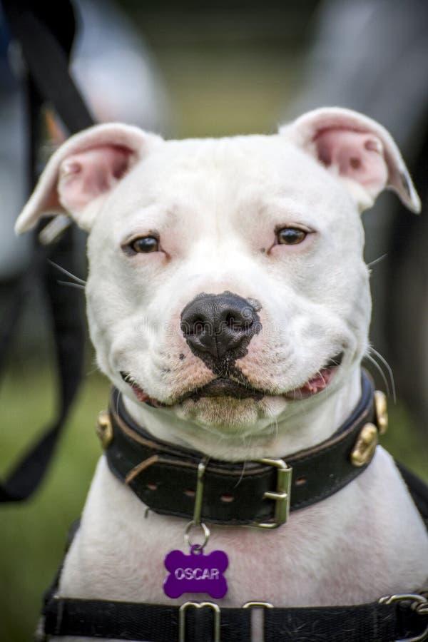 Oscar der Staffie-Hund lizenzfreies stockfoto