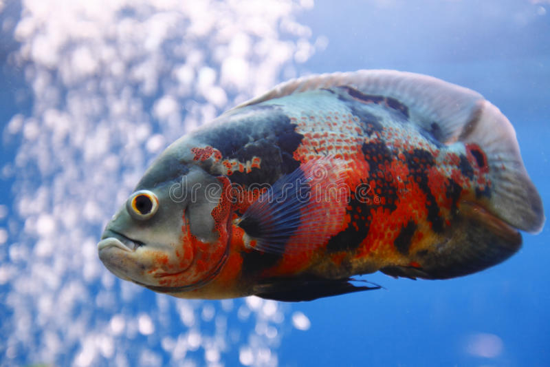 Oscar fish. Are a large colorful cichlid stock images