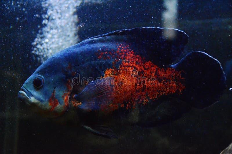 Oscar fish stock photos